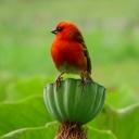 50 - Mi infiammo nel verde - Il tessitore delle Mauritius