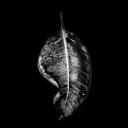 GMINGIONE_leaf_bw1