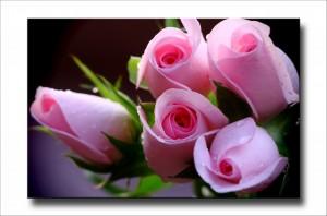 Rose_3a