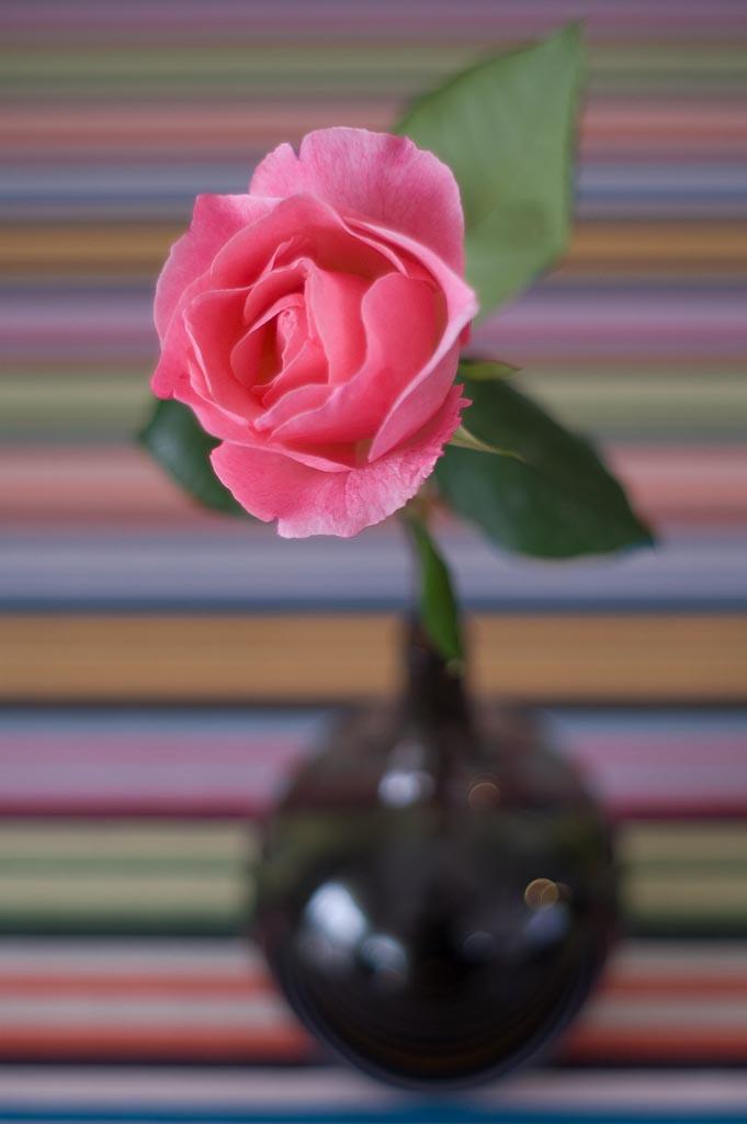 rosa dall'alto