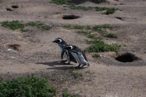 17--Punta Tombo  DSC_0290w