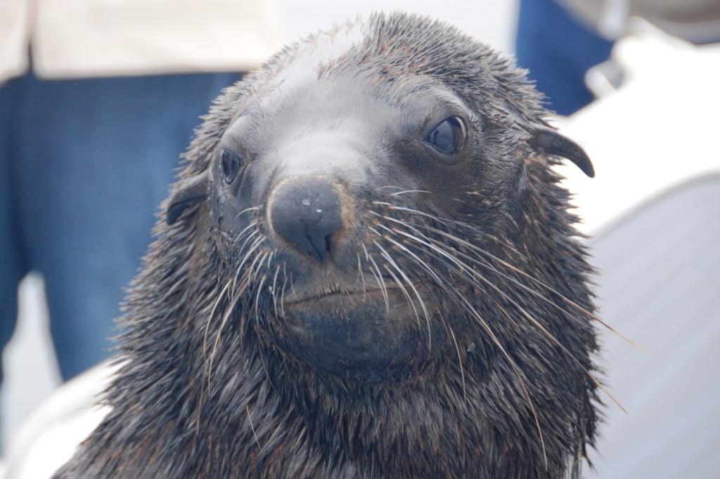 12-foca